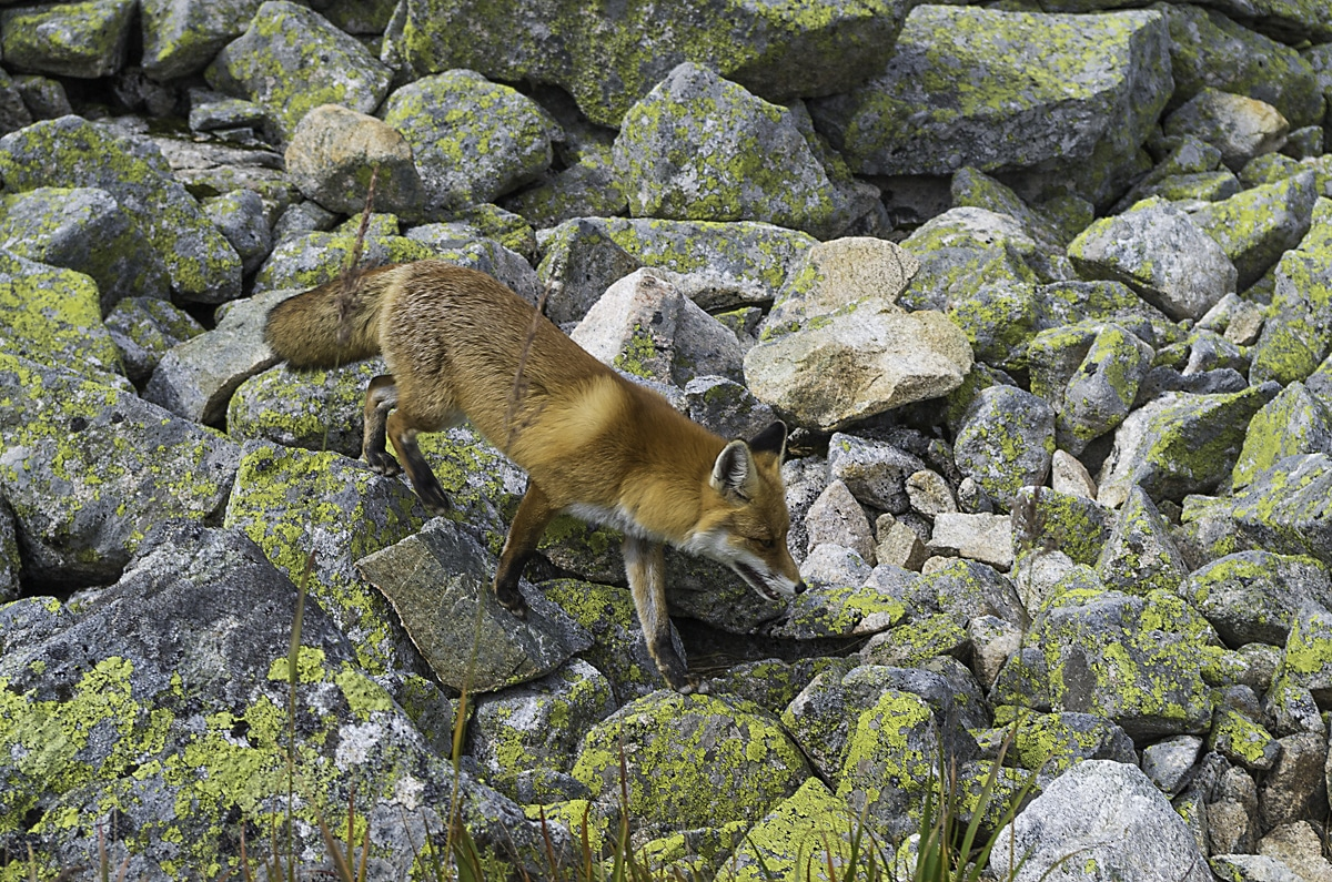 A moutain fox on High Tatras