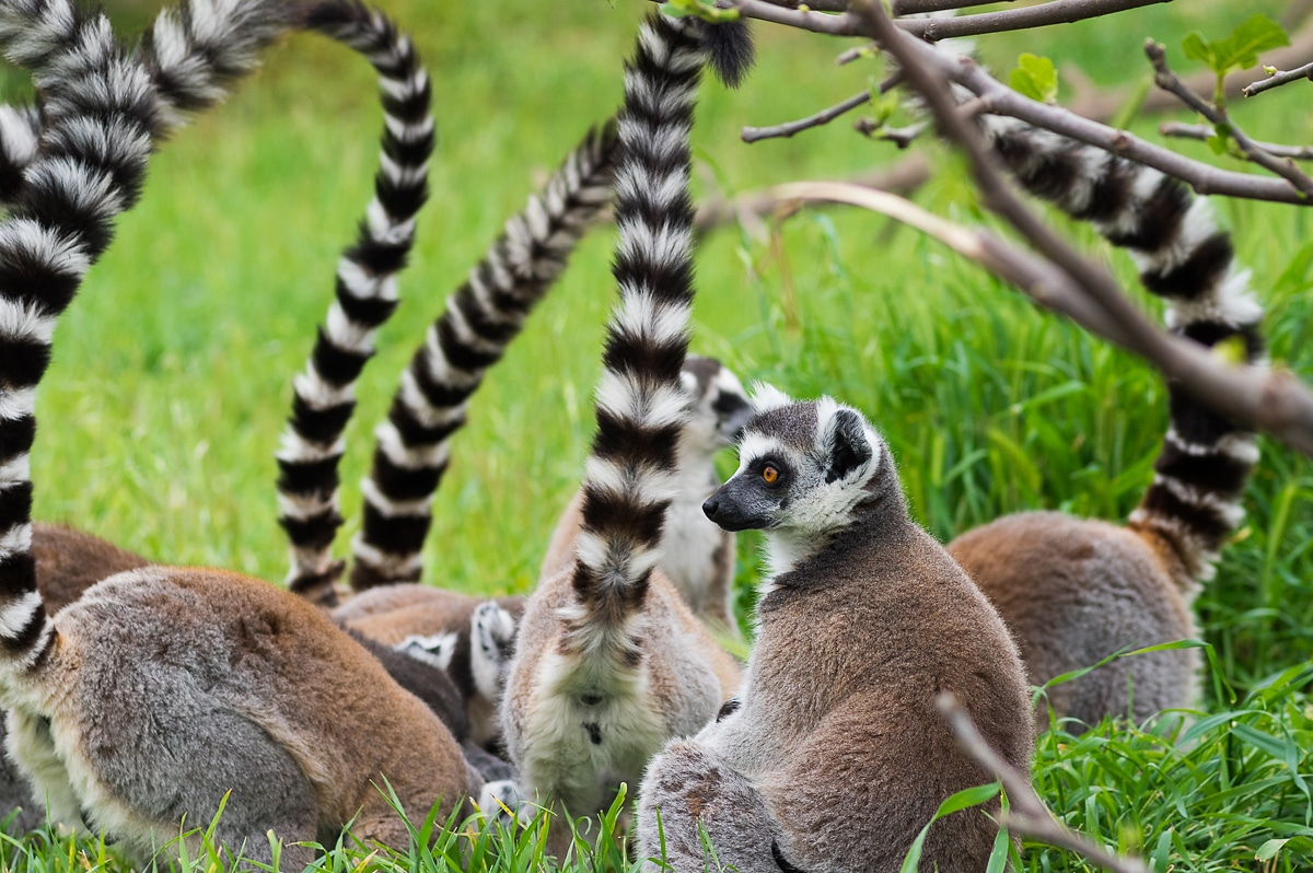 A group of lemurs eating