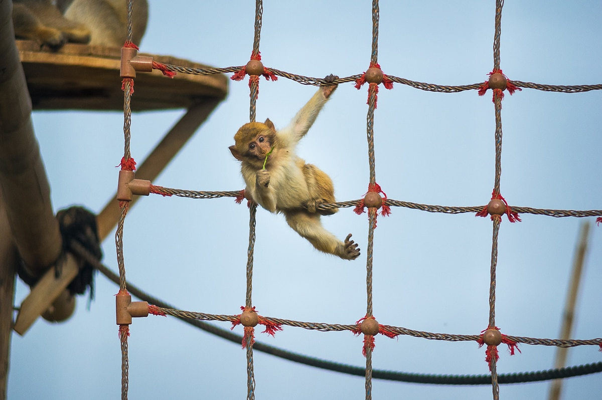A small macaque playing